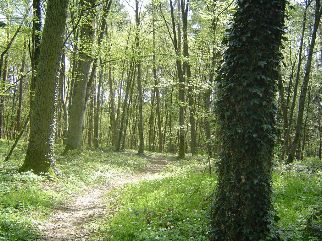 Waldweg, gesäumt von efeubewachsenen Bäumen. Die Sonne scheint durch zartes Frühlingslaub. Am boden blühen Buschwindröschen.