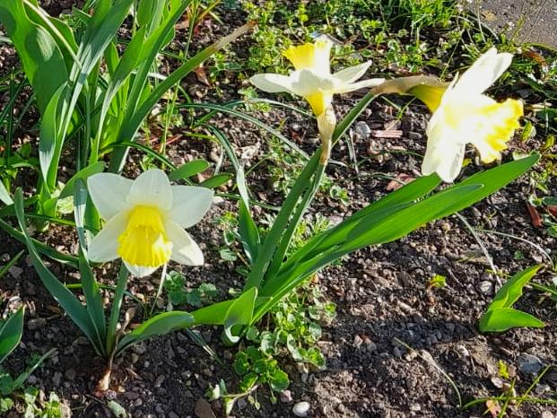 3 Osterglöckchen im Sonnenschein