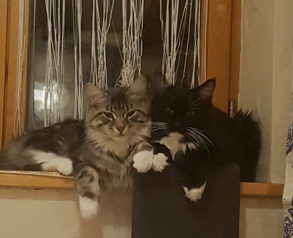 Am Fensterbrett sitzen, aneinander gekuschelt, 2 Maine Coon kitten, links grau getiegert mit weißen Pfötchen, recht schwarz mit weißen Pfötchen und weißem Latz.